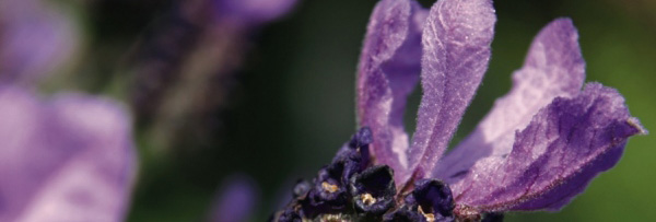 Beautiful Lavender Flower with healing properties  - Perfect symbol for The Lavender Room